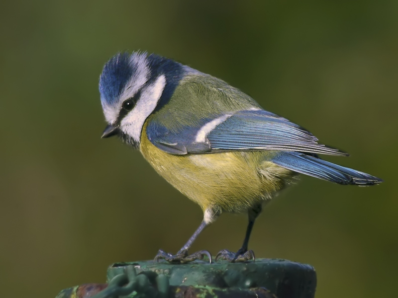 Blue Tit (Pimpelmees)